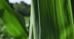 1862 Corn Field Blowing in the Wind, 4K Stock Footage