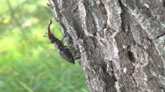 Stag beetle crawling on wood Stock Footage