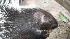 Hedgehog eating in the zoo, HD Stock Footage