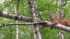 Cougar on a tree Stock Footage