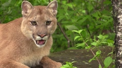 a hot cougar close up face shot - stock footage