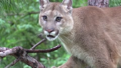a beautiful cougar on a branch - stock footage
