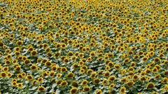 Agriculture sunflower plant field Stock Footage