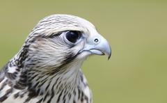 saker falcon, falco cherrug. - stock photo