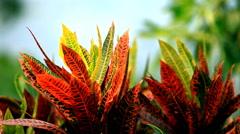 Codiaeum variegatum (L.) Blume .Orange Jessamine . Stock Footage