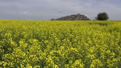 old straw bales stack on beautiful yellow rapeseed field - stock footage