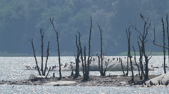 Cormorant island - stock footage