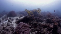 Yellow snapper Stock Footage