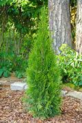 Small thuja planted in garden Stock Photos
