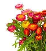 everlasting flowers - stock photo