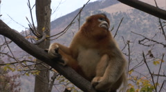 Golden monkeys, Qinling mountains, Shaanxi, China Stock Footage