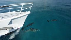 Wide shot boat bows with single Atlantic Spotted Dolphin Stock Footage