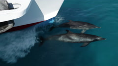 Two Atlantic Spotted Dolphins bowriding Stock Footage