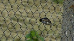 Sparrow (Passer) Perched on a Wire Mesh Stock Footage