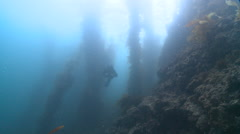 Diver, ray and looming kelp forest - stock footage