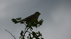 Sparrow (Passer)  Perched on Prickly Acacia 5 Stock Footage