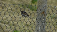 Stock Video Footage of Sparrow (Passer) Perched on a Wire Mesh 2