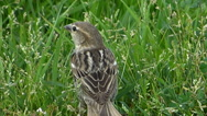 Stock Video Footage of Sparrow (Passer) Shot in Closeup 4