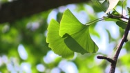 Stock Video Footage of Ginkgo leaves in a forest in the sunlight