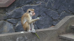 Monkey eating in the Golden Temple of Dambulla. Stock Footage
