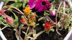 Timelapse of fLowers opening up in the sun Stock Footage