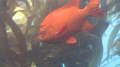 Garibaldi fish (Hypsypops rubicundus) swims in kelp forest Stock Footage