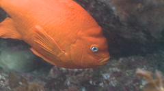 Garibaldi fish (Hypsypops rubicundus) swims in kelp forest Stock Footage