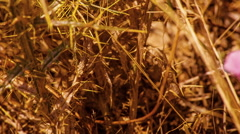 Dry bush thorns. Drought. Panning. HD 1080. Stock Footage