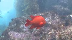 Garibaldi fish (Hypsypops rubicundus) forages around rocks Stock Footage