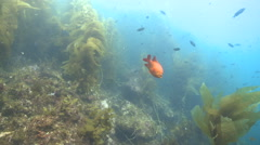 Garibaldi fish (Hypsypops rubicundus) forages in kelp forest, wider Stock Footage