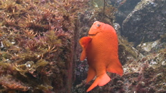 Garibaldi fish (Hypsypops rubicundus) swims over rocky sea floor Stock Footage