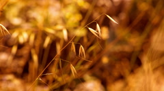 Dry Blade of Grass. Drought. Panning. HD 1080. Stock Footage