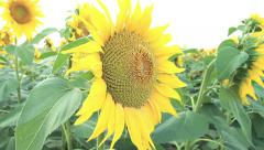 Simulation bee flying in a field of sunflowers Stock Footage