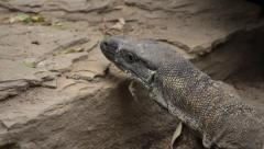 Stock Video Footage of Reptile Lace Monitor looking for food on the rock