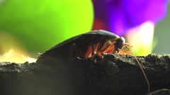 Cockroach macro, insects beetle, 4k Stock Footage