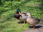 Stock Photo of Male and female duck