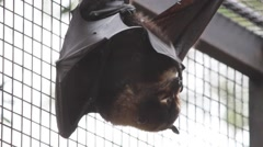 Flying Fox hanging upside down in a cage Stock Footage