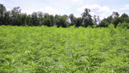 Stock Video Footage of Cannabis field.
