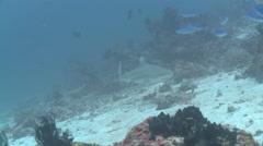 Black-tipped reef shark (Carcharhinus melanopterus), Maldives - stock footage