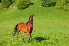 beautiful bay horse of the arab breed to stand on a green meadow - stock photo