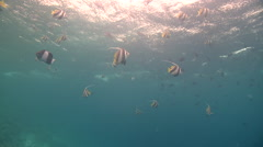 Bannerfish (Heniochus acuminatus) school in swell near surface, Maldives Stock Footage