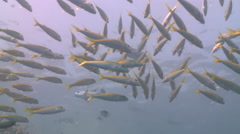 School of Yellowfin goatfish (Mulloides vanicolensis) Stock Footage