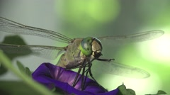 Green Darner dragonfly insect macro 4k Stock Footage