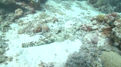 Crocodile fish (Cymbacephalus beauforti) on sea floor Stock Footage
