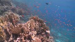 Coral goldfish (Anthias squamipinnis) around reef head Stock Footage