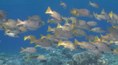 Blackspot snapper (Lutjanus ehrenbergi) shoal closer Stock Footage