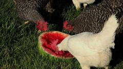 Chickens feeding on summer watermelon HD 243 Stock Footage