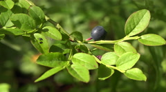 Blueberry Bush in the forest. 4K. Stock Footage