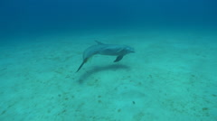 Bottlenose dolphin (Tursiops truncatus) swims, Roatan Island, Honduras Stock Footage
