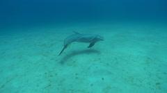 Bottlenose dolphin (Tursiops truncatus) swims, Roatan Island, Honduras - stock footage